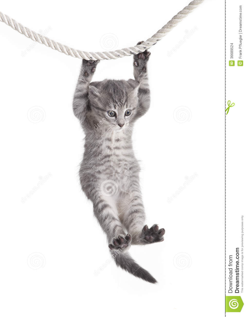 Small tabby cat baby hanging on rope, white background, isolated.