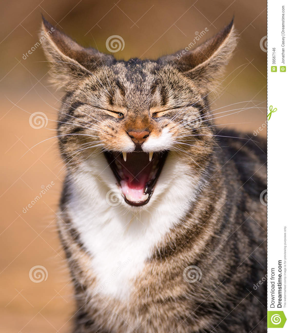 Tabby Cat Laughing