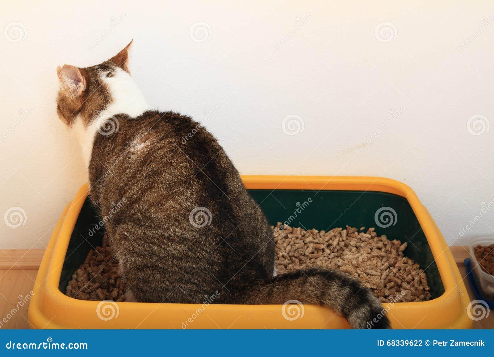 Tabby cat on litter box