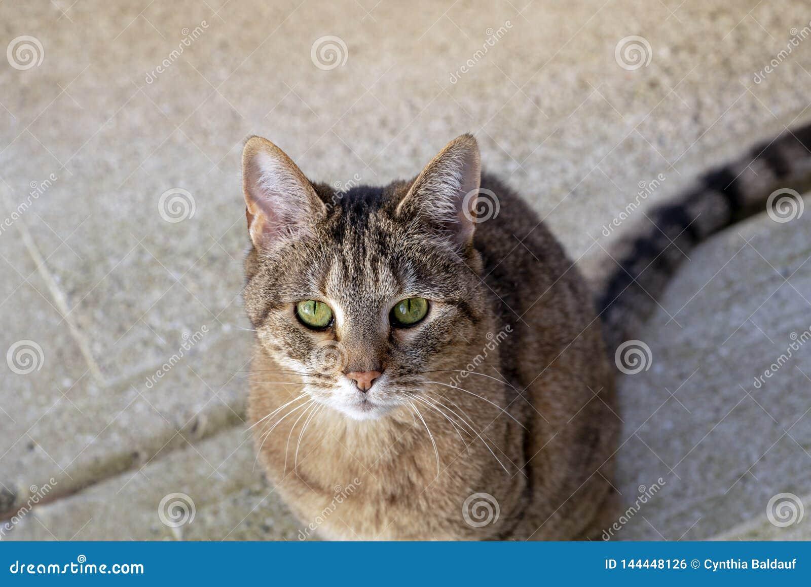 Tabby Cat Looking Up en la cámara