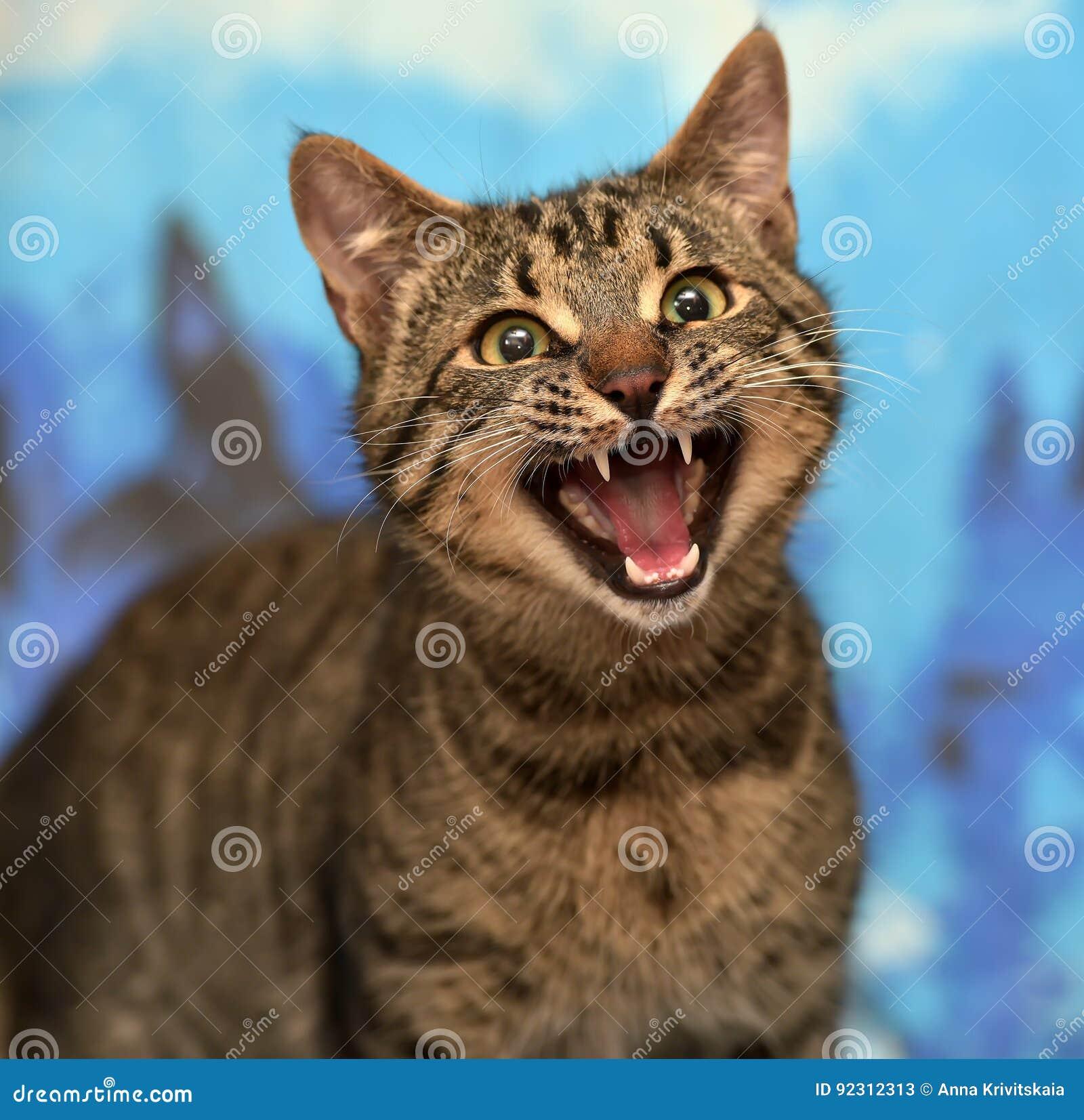 Tabby cat meows