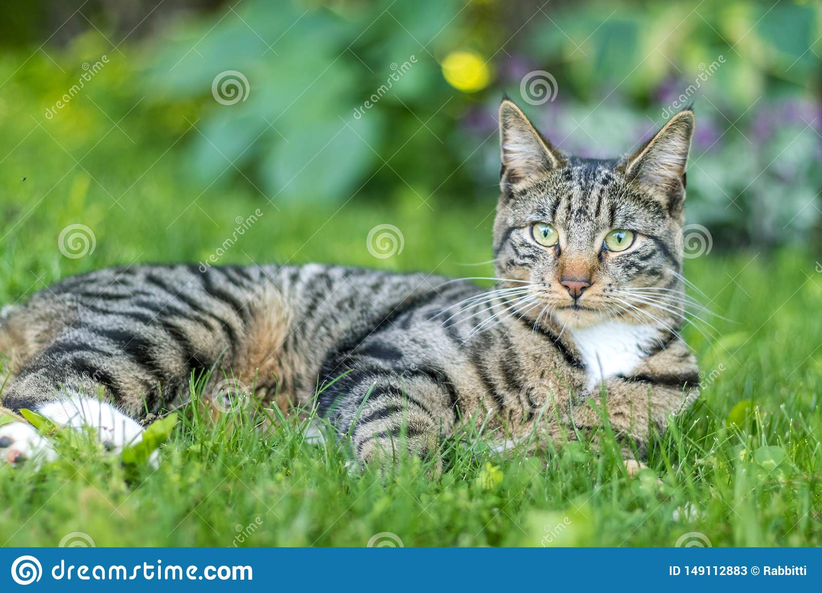 Tabby Cat portrait n green grass on a late spring afternoon