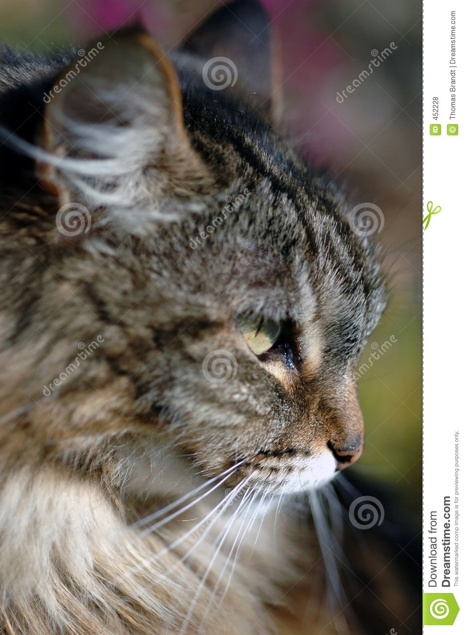 Download Head of brown tabby cat stock photo. Image of hairy, head - 452228