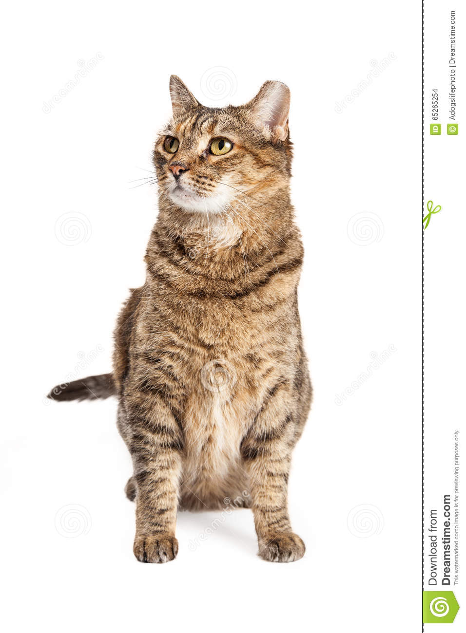 Tabby Cat Sitting Looking Up And Side Stock Photo - Image ... Tabby Cat Sitting Up
