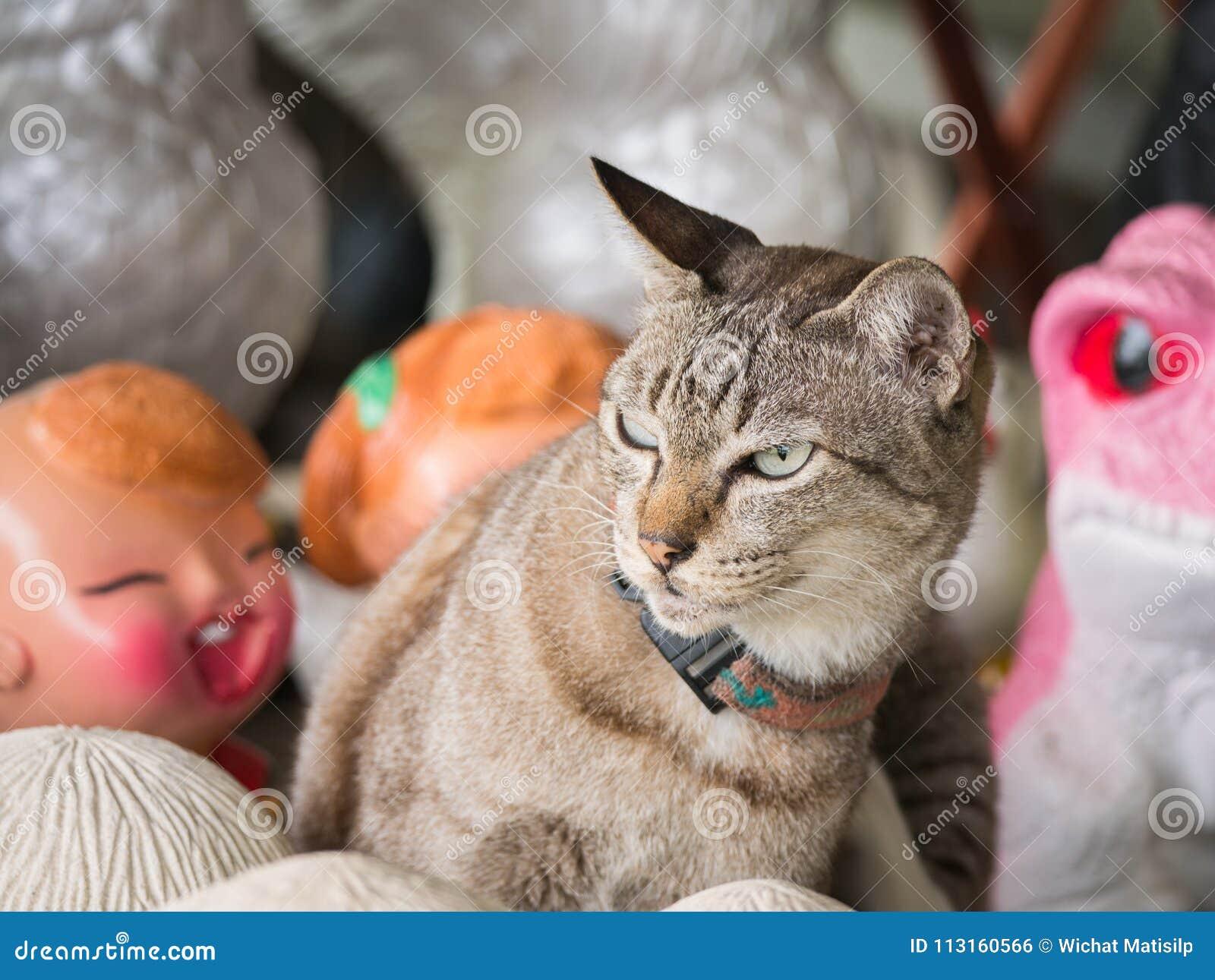 Tabby Cat stava andando litigare con una bambola