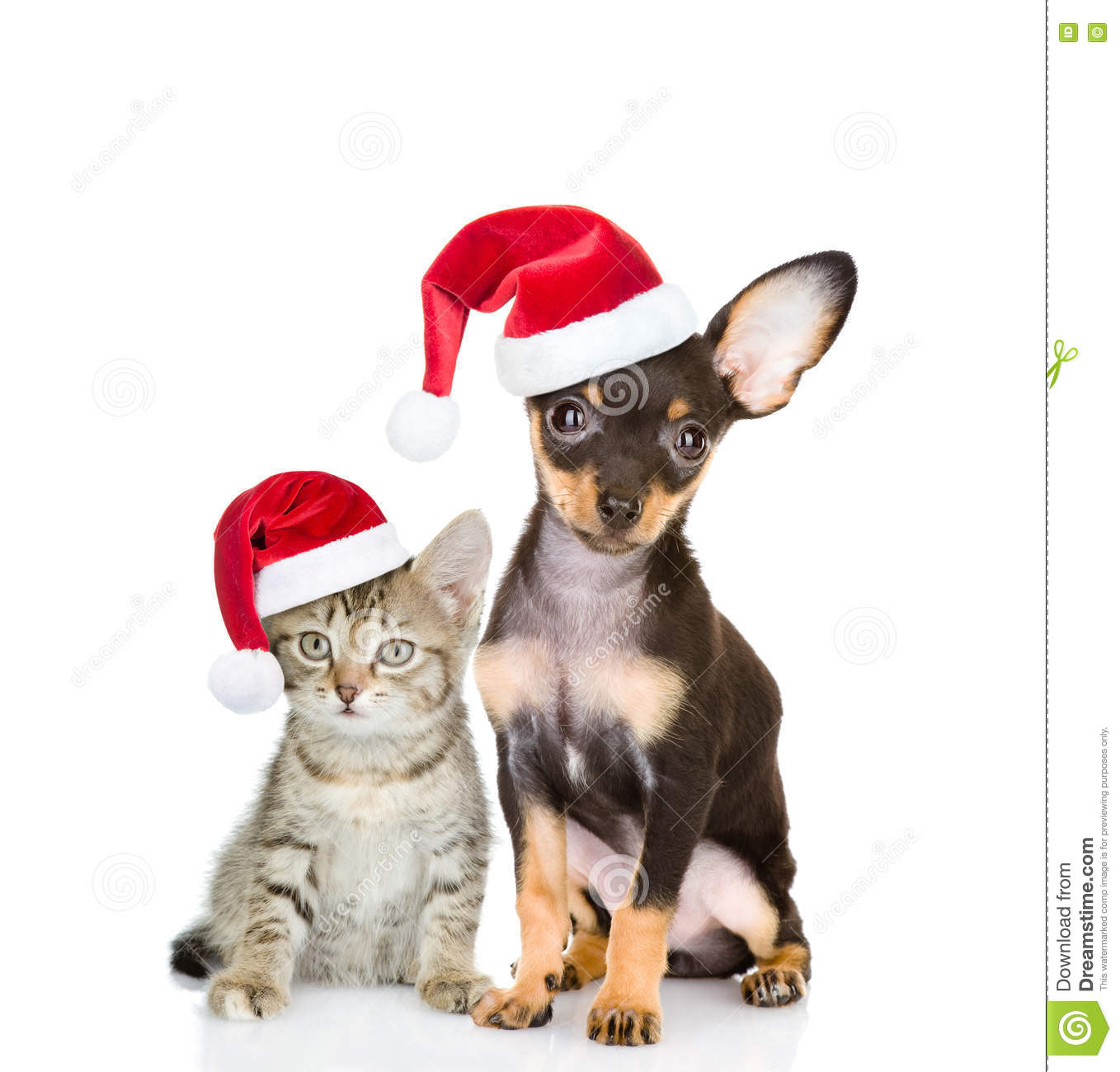 Tabby cat and toy-terrier puppy dog sitting together in red santa hats. isolated on white