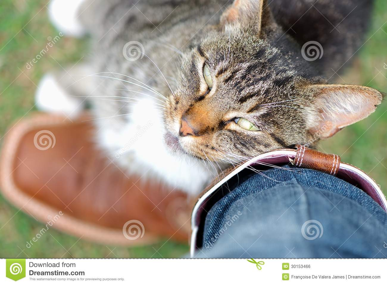 Tabby cat rubbing against owner affectionately