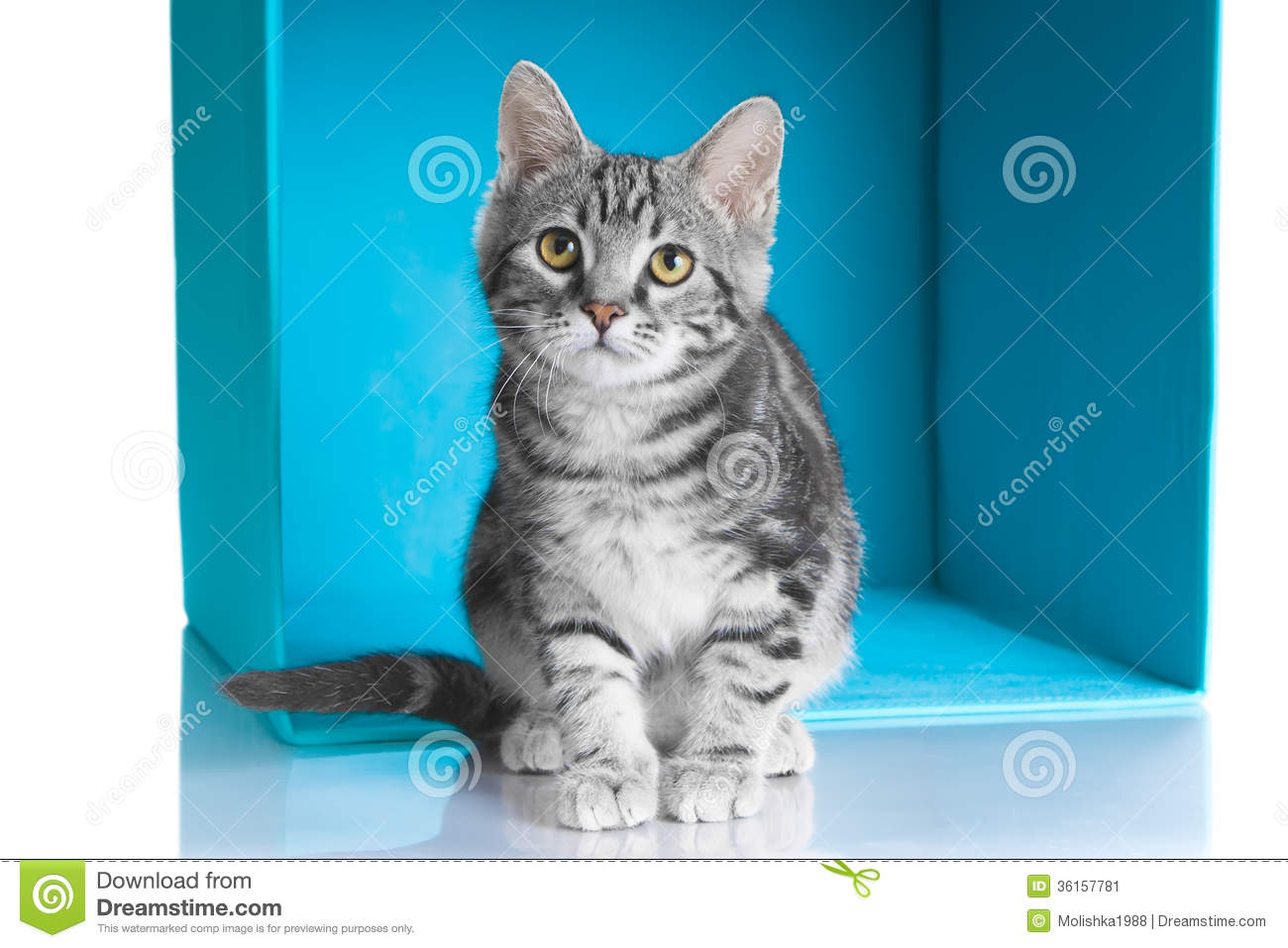 Tabby Grey Cat In Blue Cube Stock Image Image