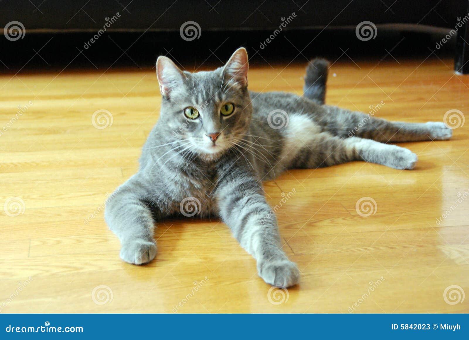 Tabby-Katze