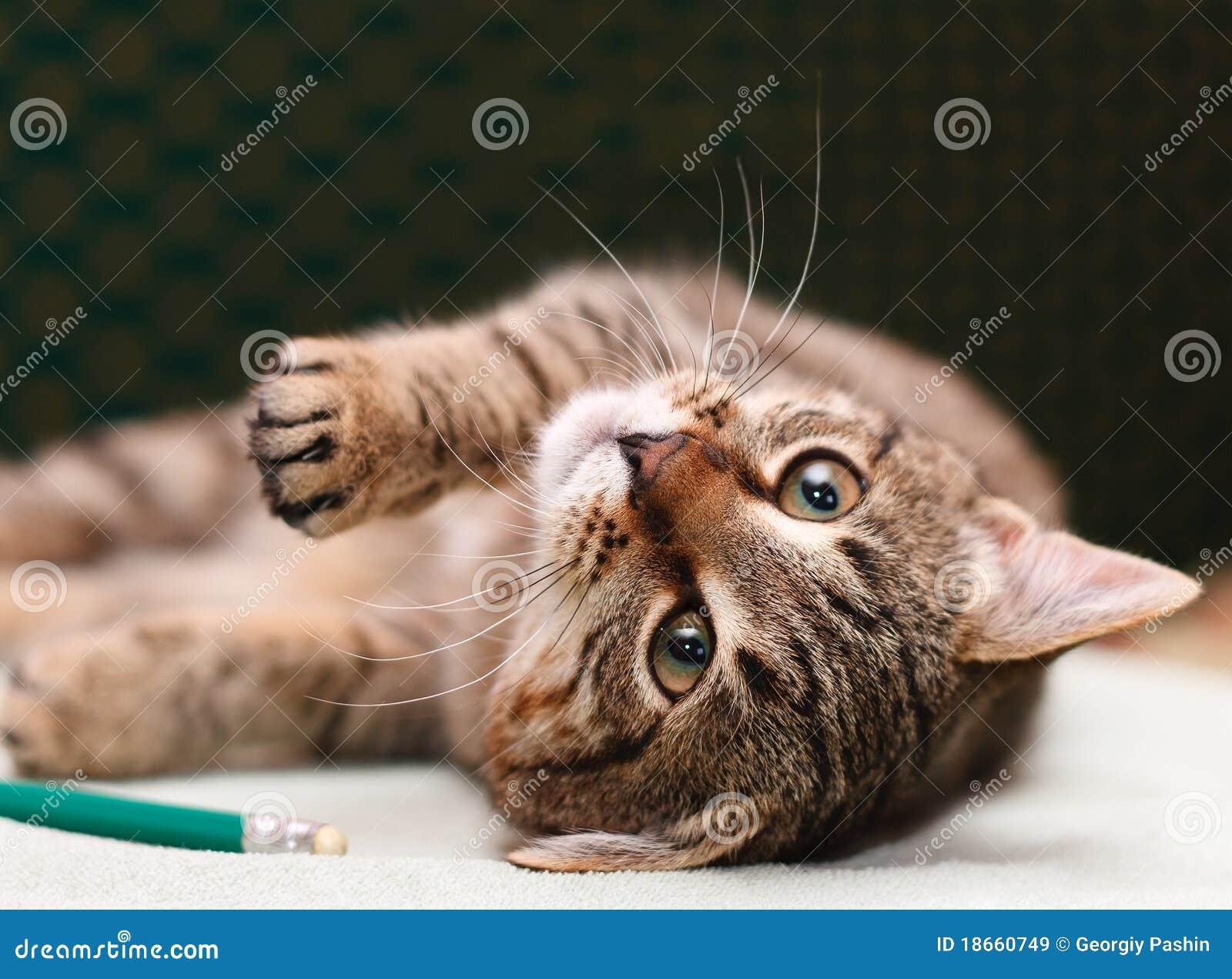Tabby-Katze, die auf Seite legt