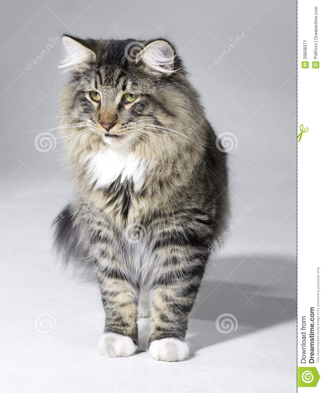 Tabby Norwegian Forest cat stock image. Image of gray ... Tabby Norwegian Forest Cat
