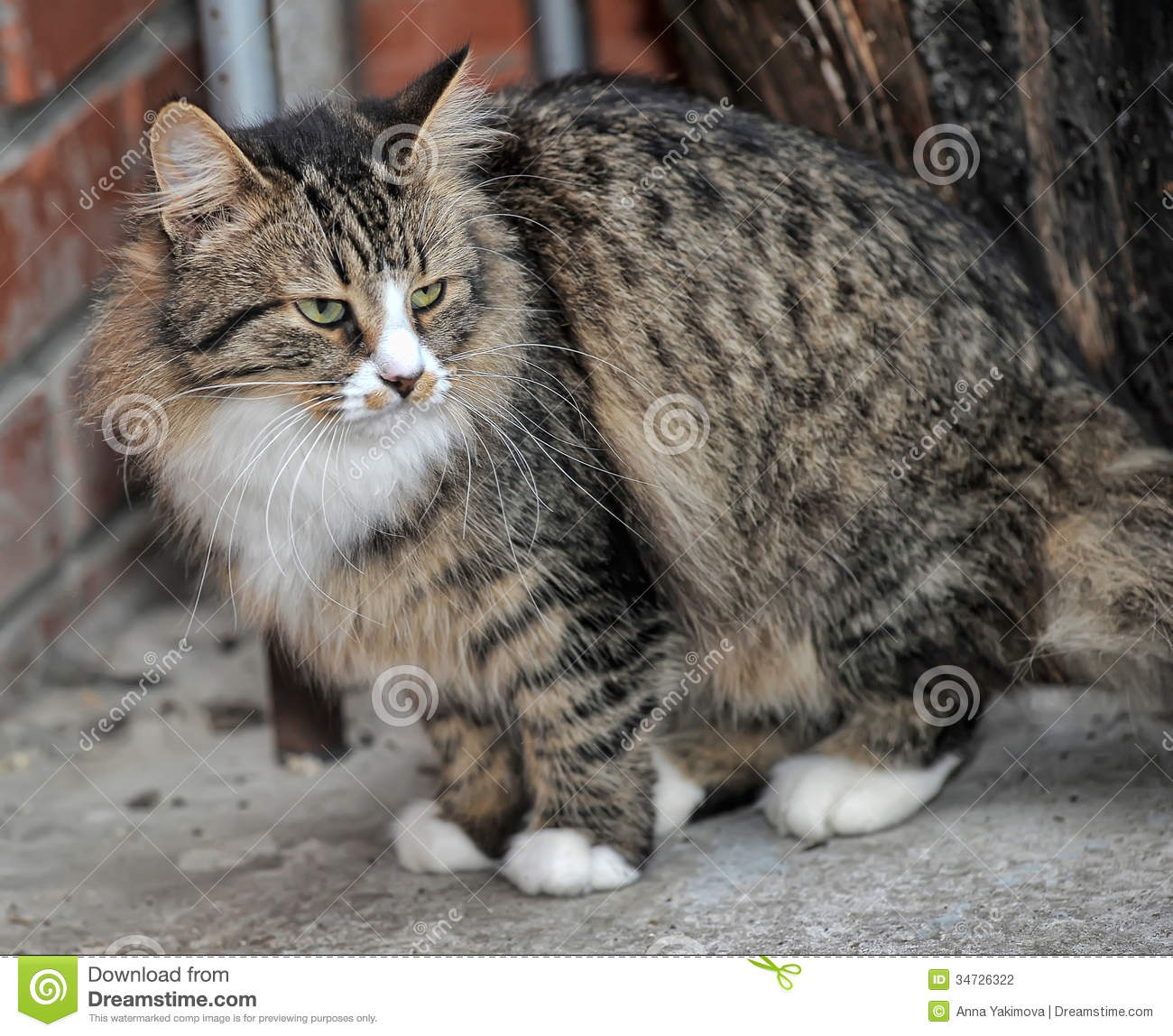 Tabby Norwegian Forest...