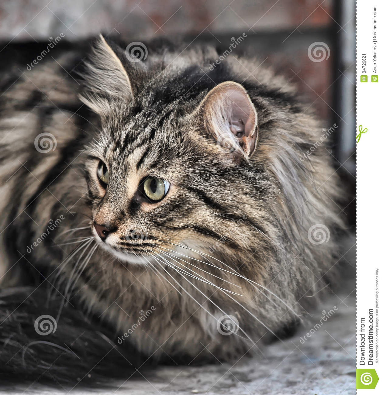 Tabby Norwegian Forest cat stock image. Image of furry ...