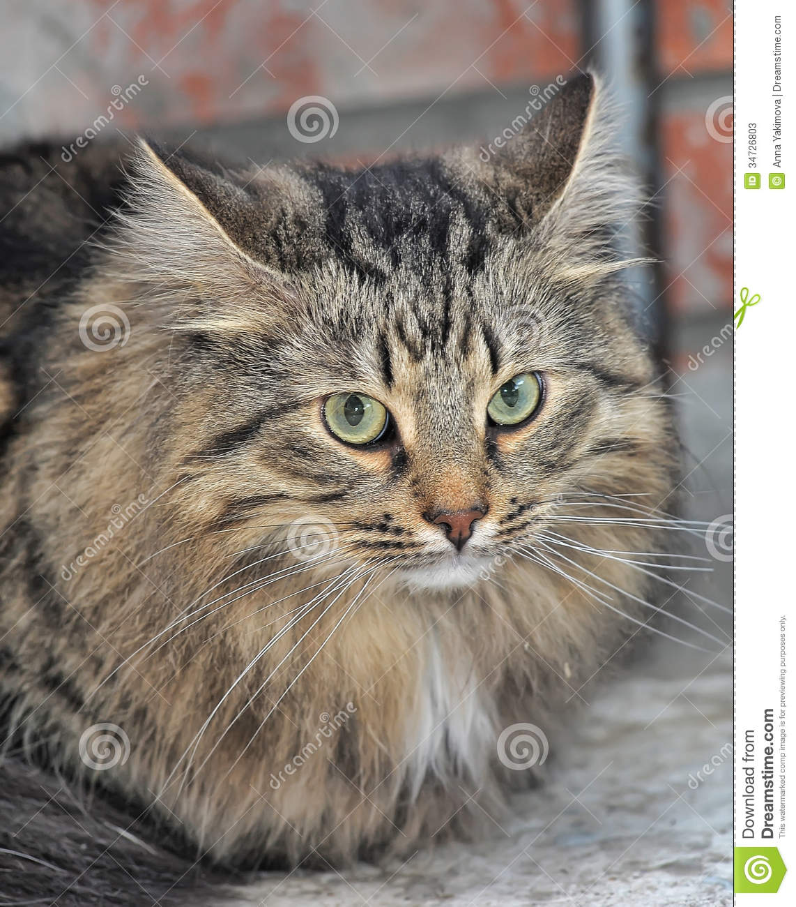 Tabby Norwegian Forest Cat Stock Photos - Image: 34726803 Tabby Norwegian Forest Cat