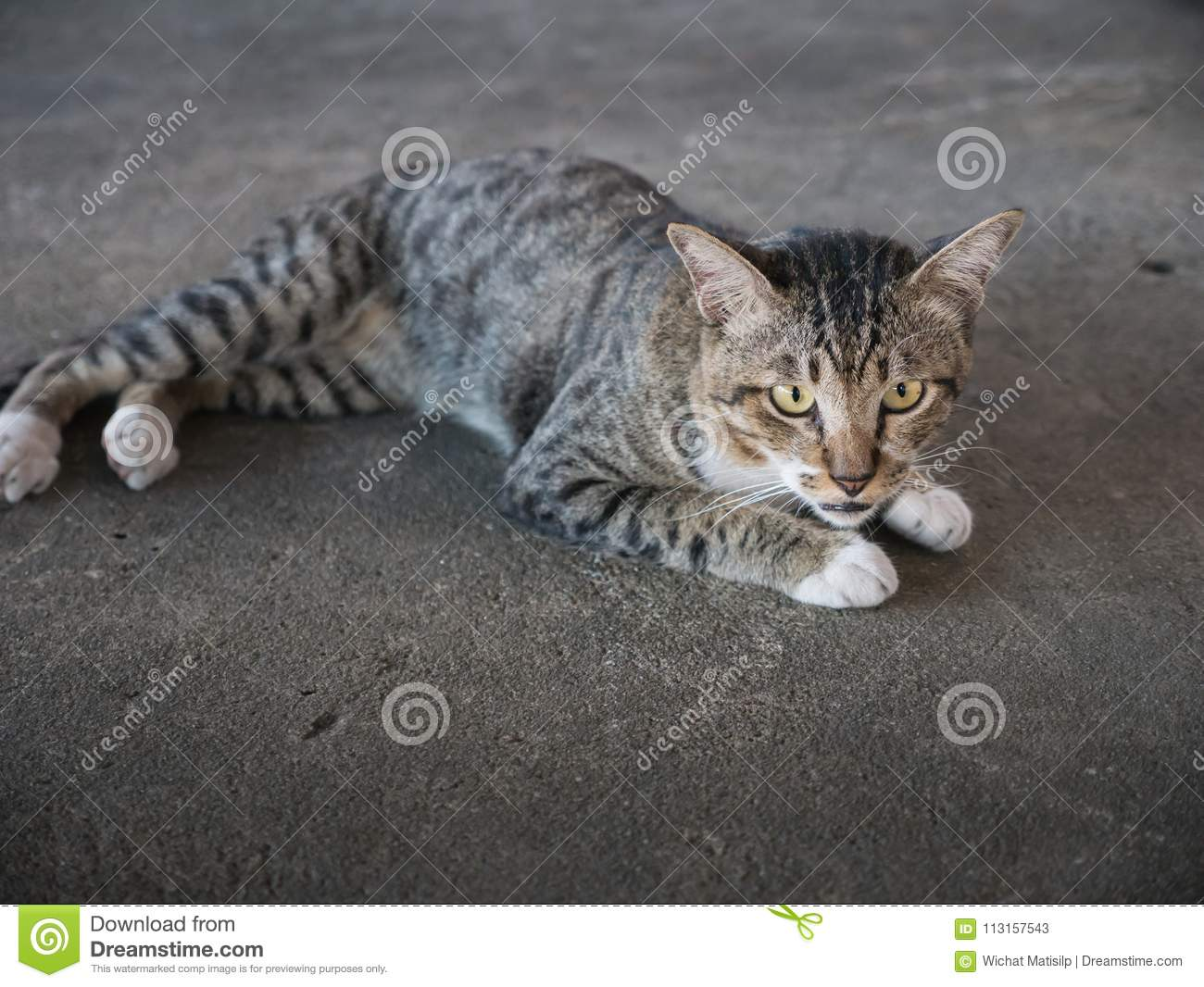 Tabby Stray Cat Lying nel pavimento del cemento