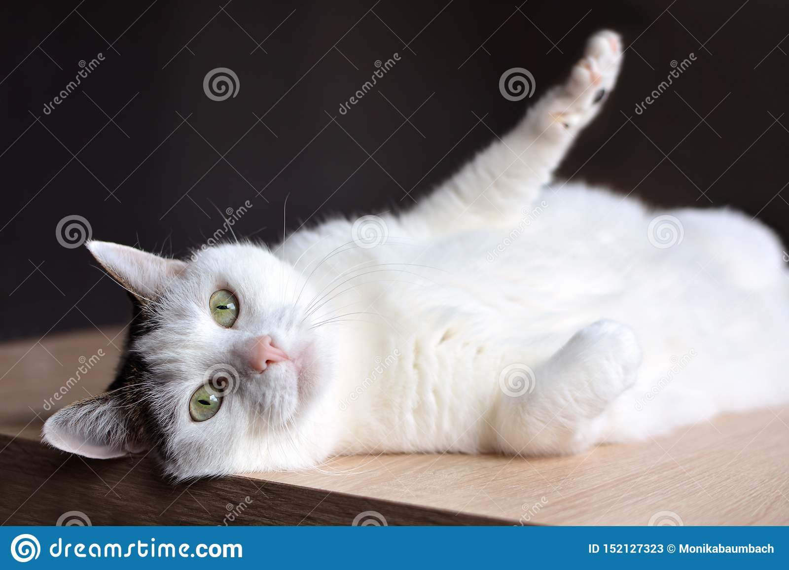 Tabby white cat with green eyes and pink nose lying on wooden floor on dark background