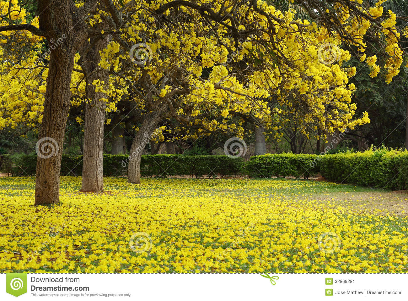 Tabebuia argentea trees in full bloom stock image image of download comp mightylinksfo