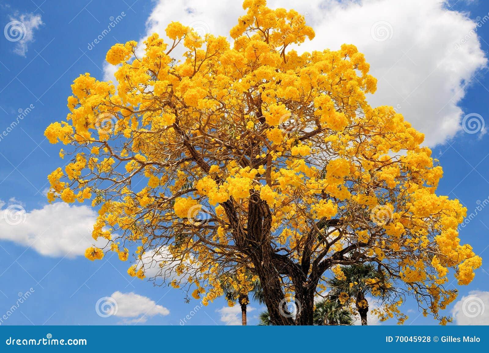 Tabebuia Aurea Tree In Full Bloom Florida Stock Photo Image Of