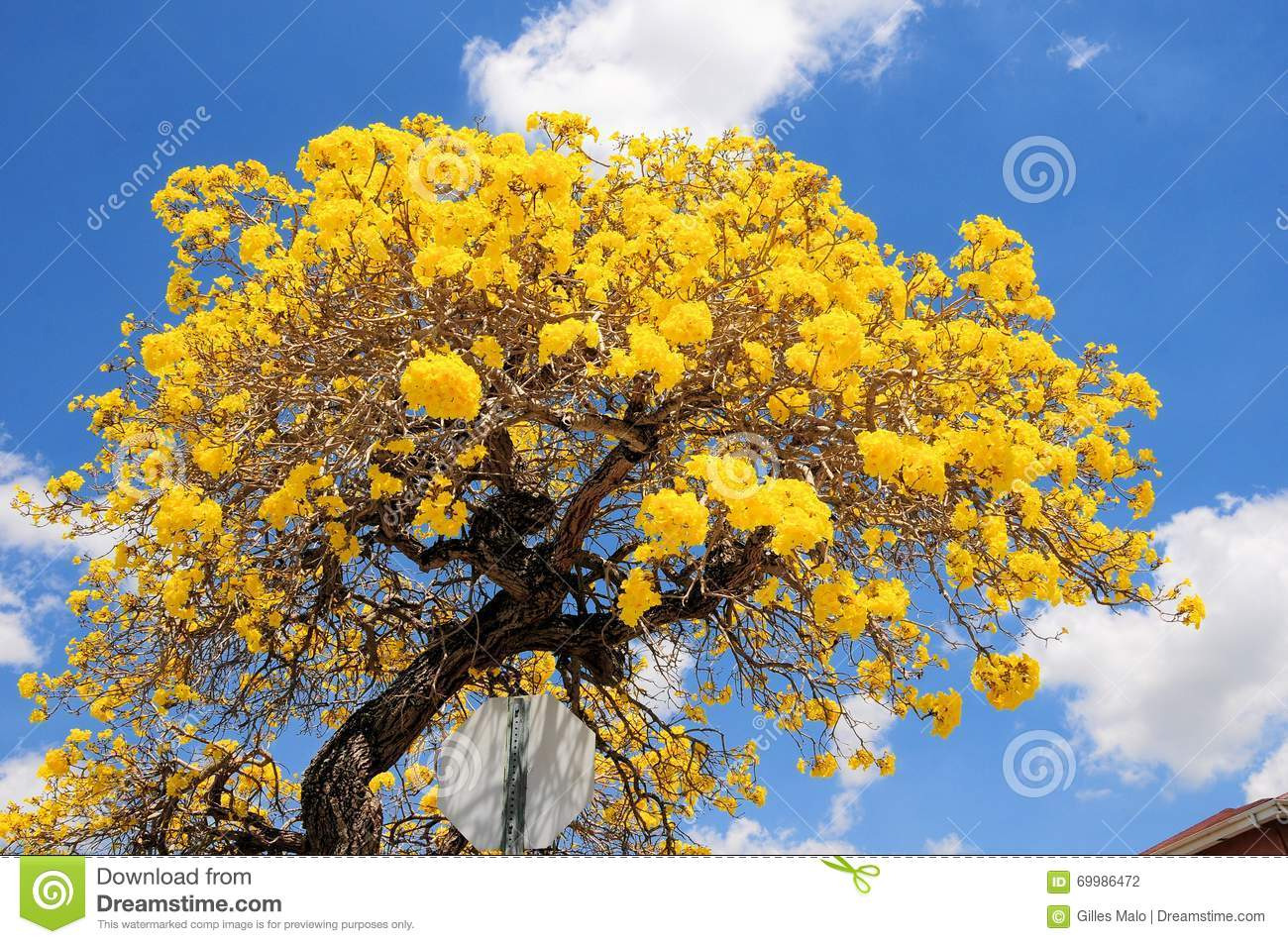 Tabebuia aurea tree in south florida stock photo image of blue royalty free stock photo mightylinksfo