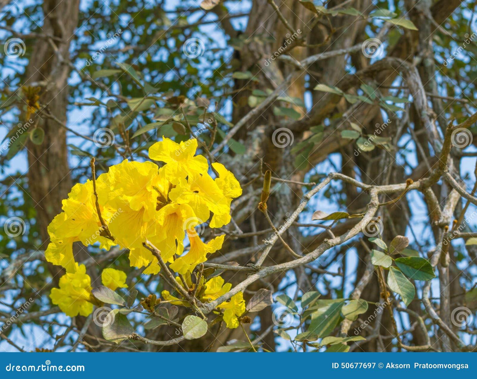 Download Tabebuia Chrysotricha黄色开花开花 库存图片 - 图片 包括有 结构树, 蓝色: 50677697