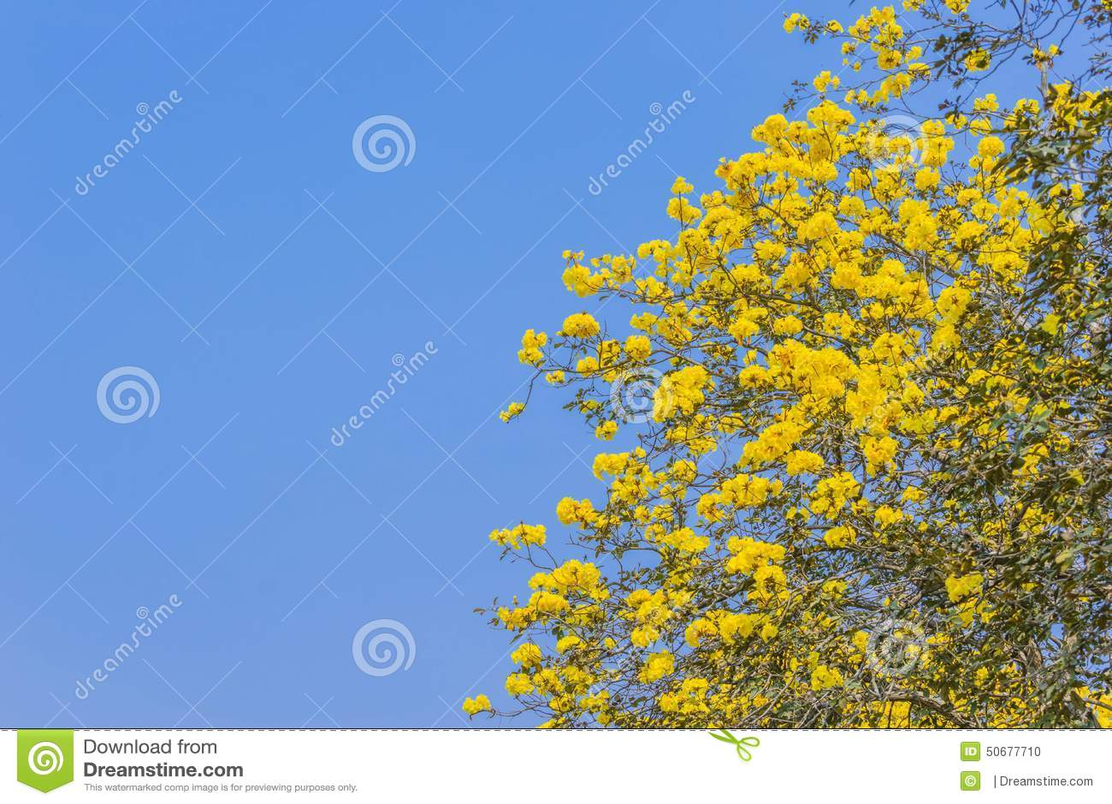 Download Tabebuia Chrysotricha黄色开花开花 库存照片 - 图片 包括有 许多, 新鲜: 50677710