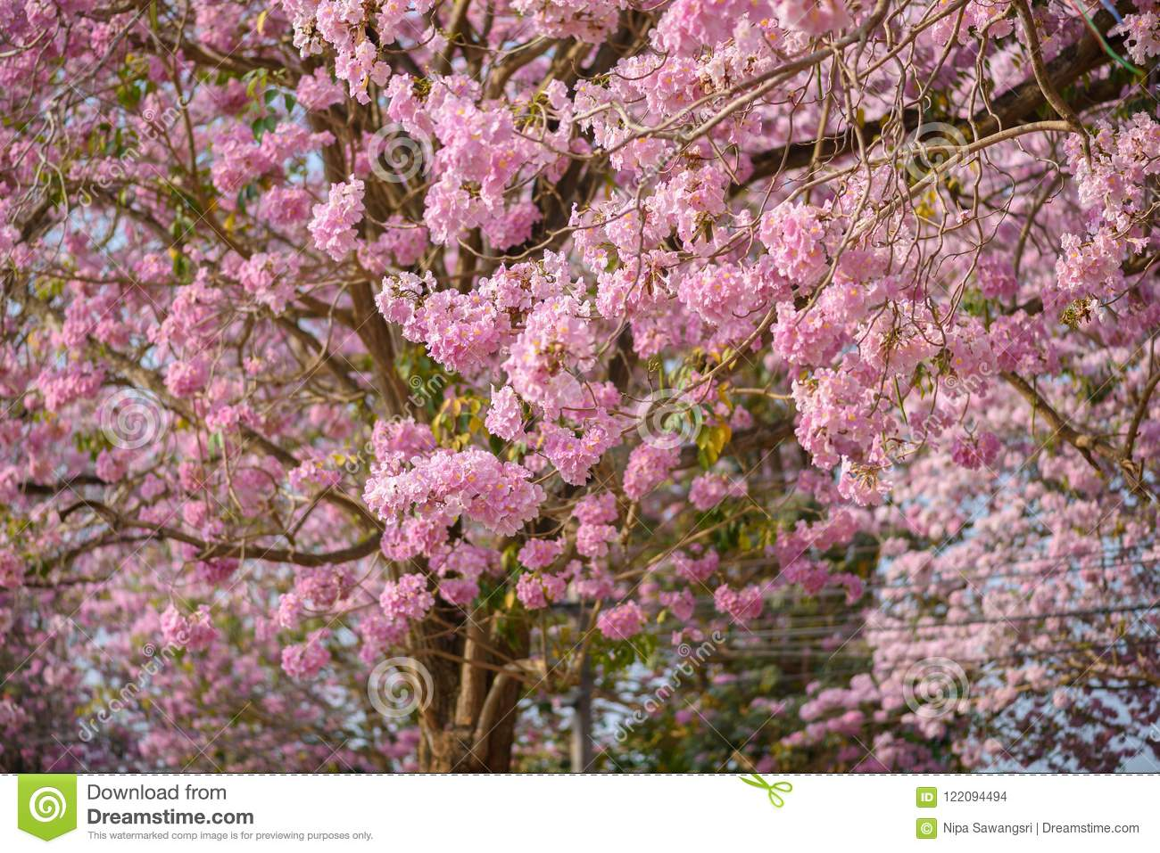 Tabebuia Rosea Is A Pink Flower Neotropical Tree Stock Photo Image