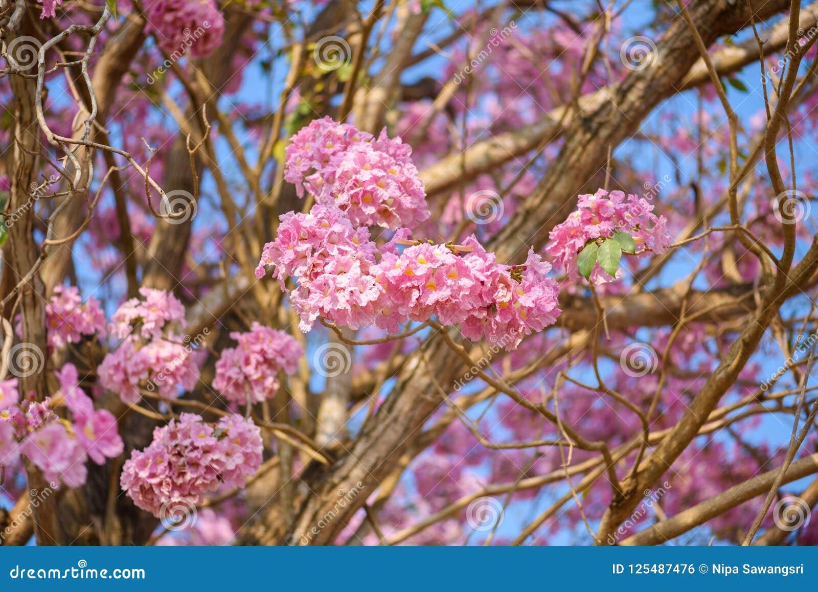 Tabebuia rosea is a pink flower neotropical tree stock photo image tabebuia rosea is a pink flower neotropical tree common name pink trumpet tree pink poui pink tecoma rosy trumpet tree basant rani mightylinksfo