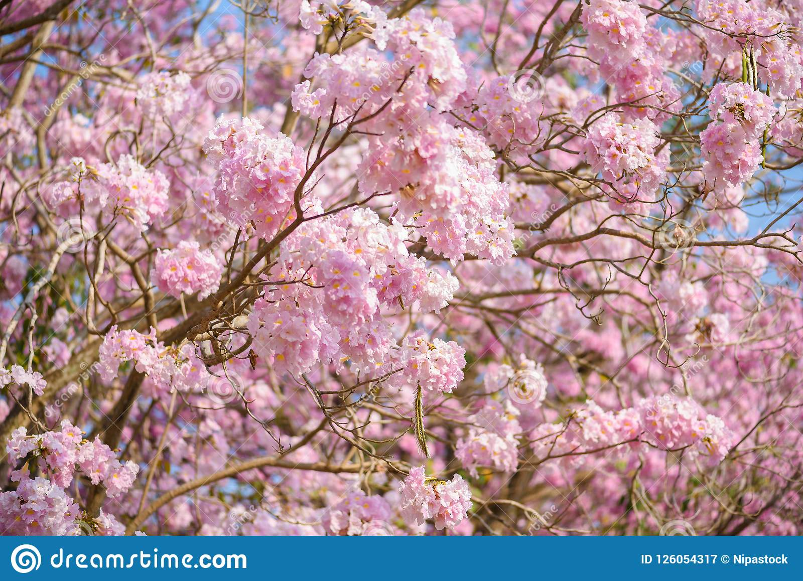Tabebuia rosea is a pink flower neotropical tree stock image image tabebuia rosea is a pink flower neotropical tree common name pink trumpet tree pink poui pink tecoma rosy trumpet tree basant rani mightylinksfo