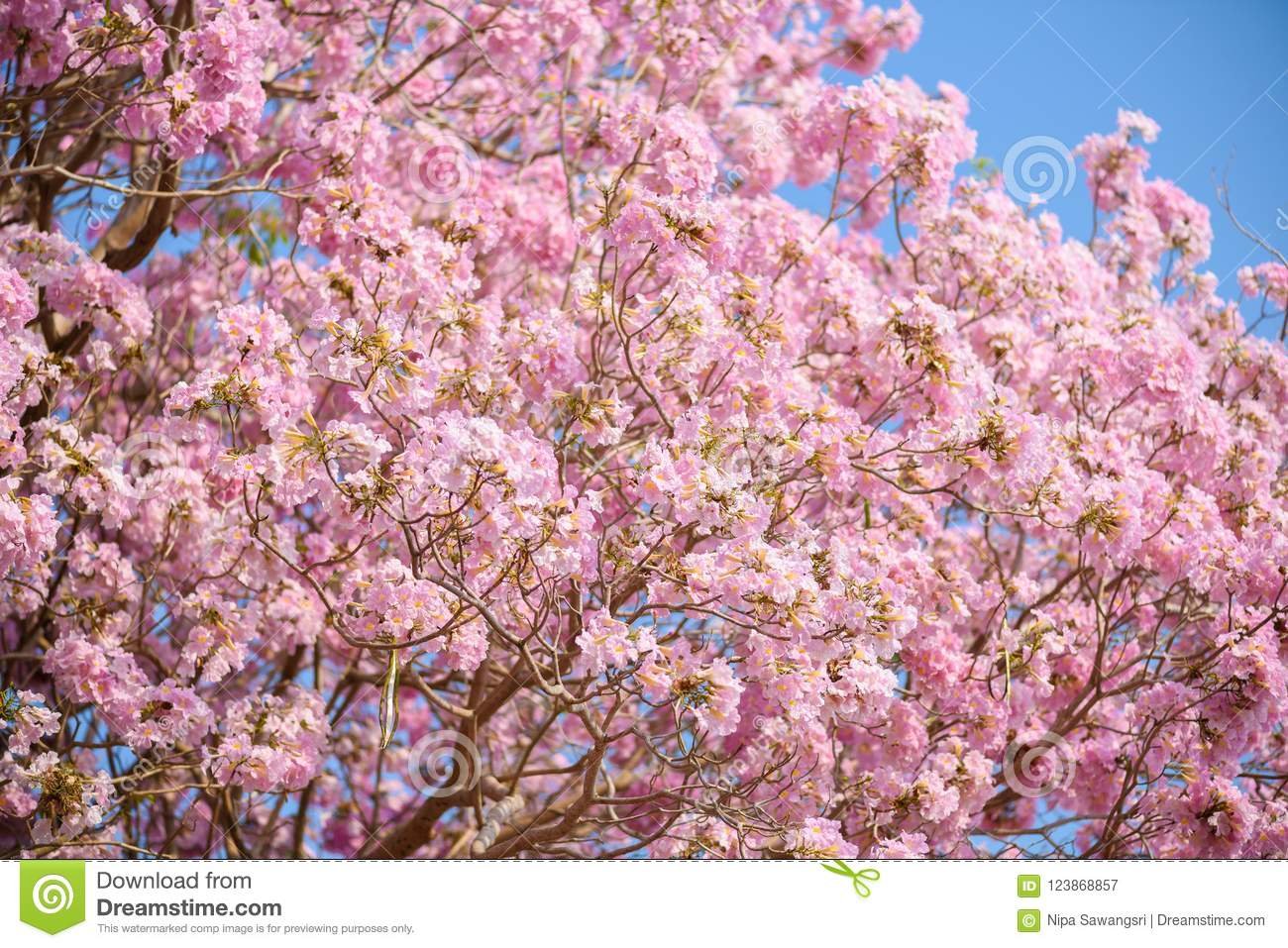 Tabebuia Rosea Is A Pink Flower Neotropical Tree Stock Image Image