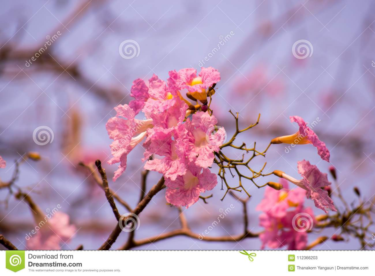 Tabebuia Rosea Or Pink Trumpet Flowers Growing Up In The Local Park