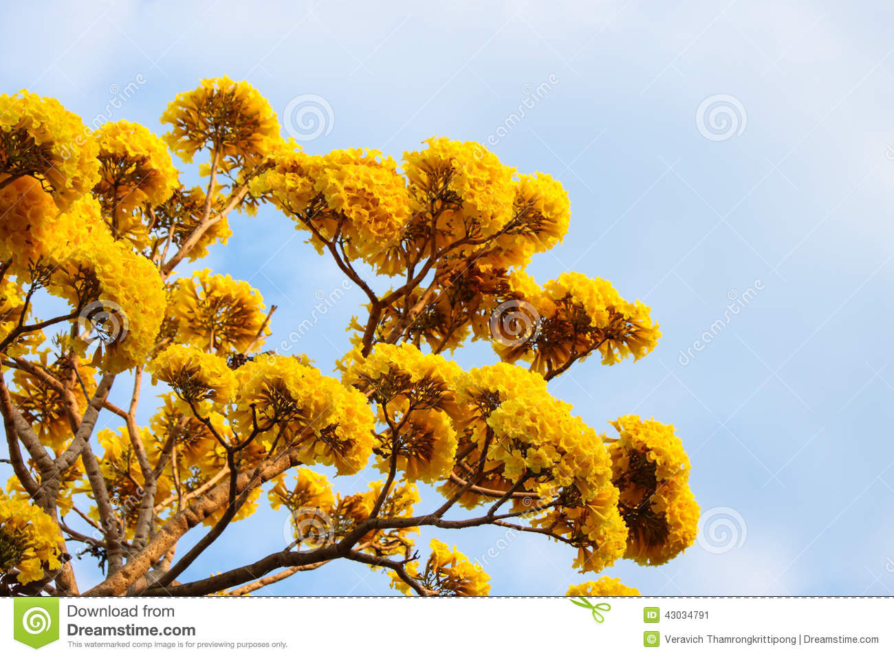 Tabebuia Stock Image Image Of Flower Tree Lavender 43034791
