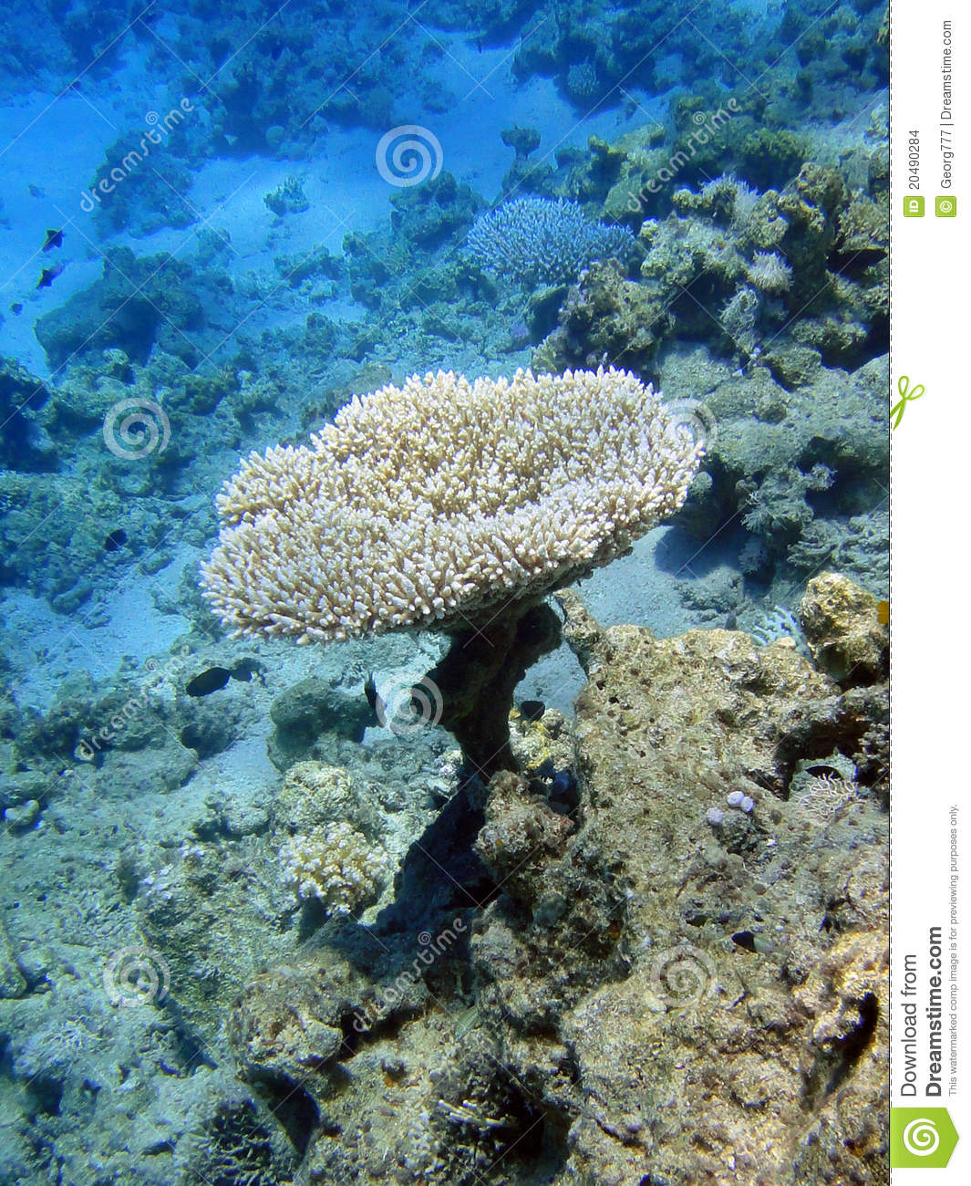 Table Coral Stock Images - Image: 20490284