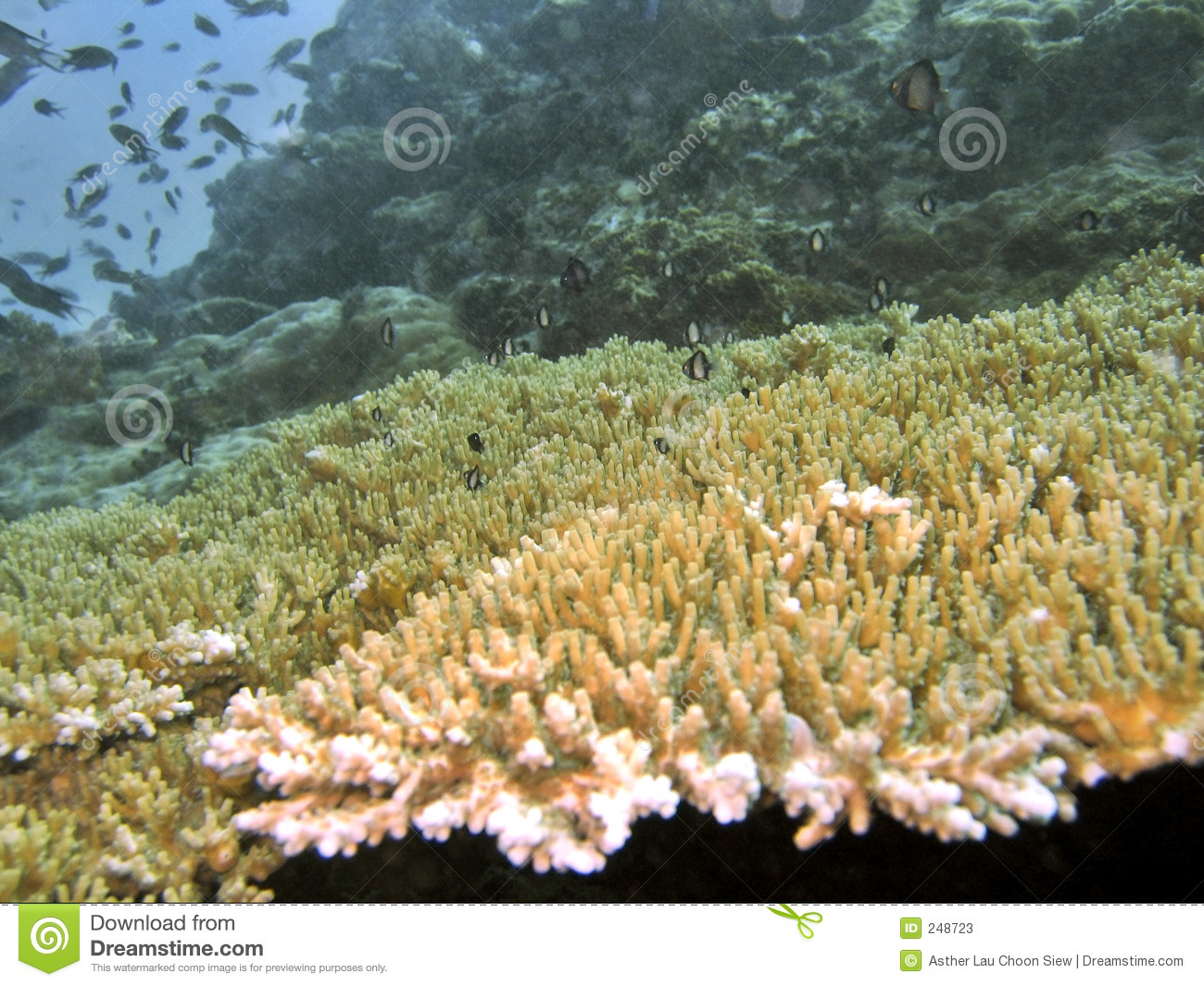 Table Coral Stock Photos - Image: 248723