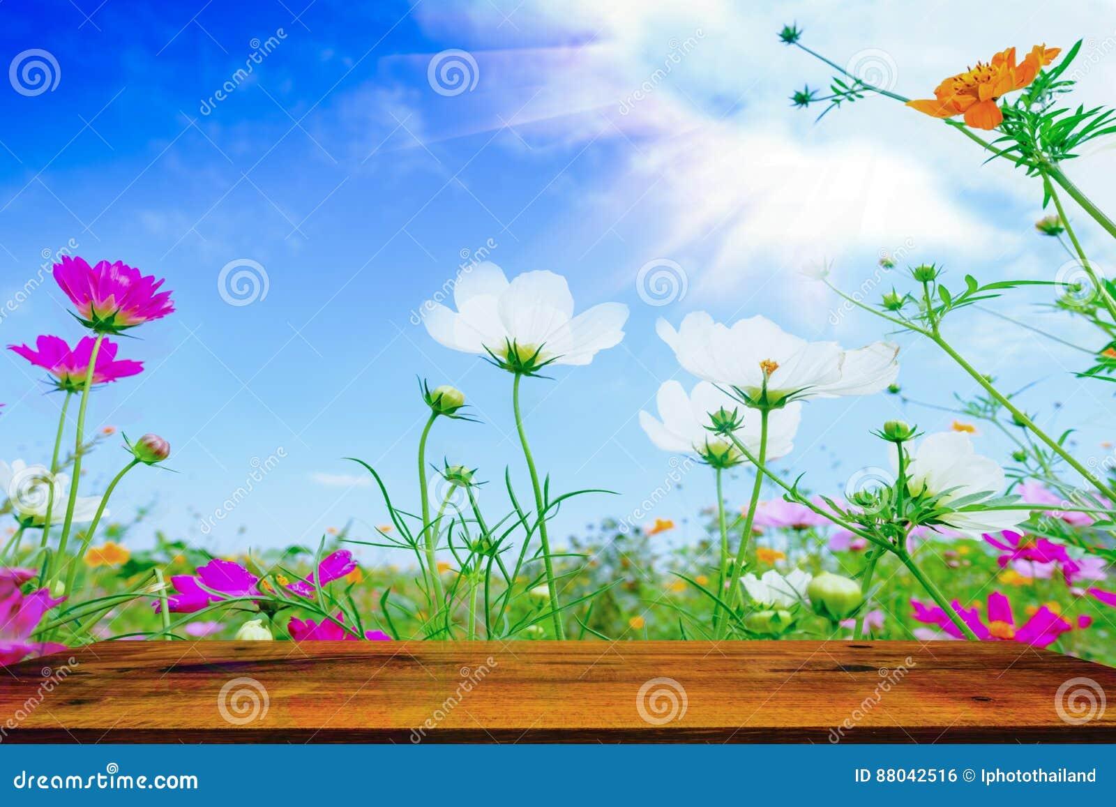 Fleur De Sous Bois Bleue table en bois avec la fleur rose de cosmea sous la lumière