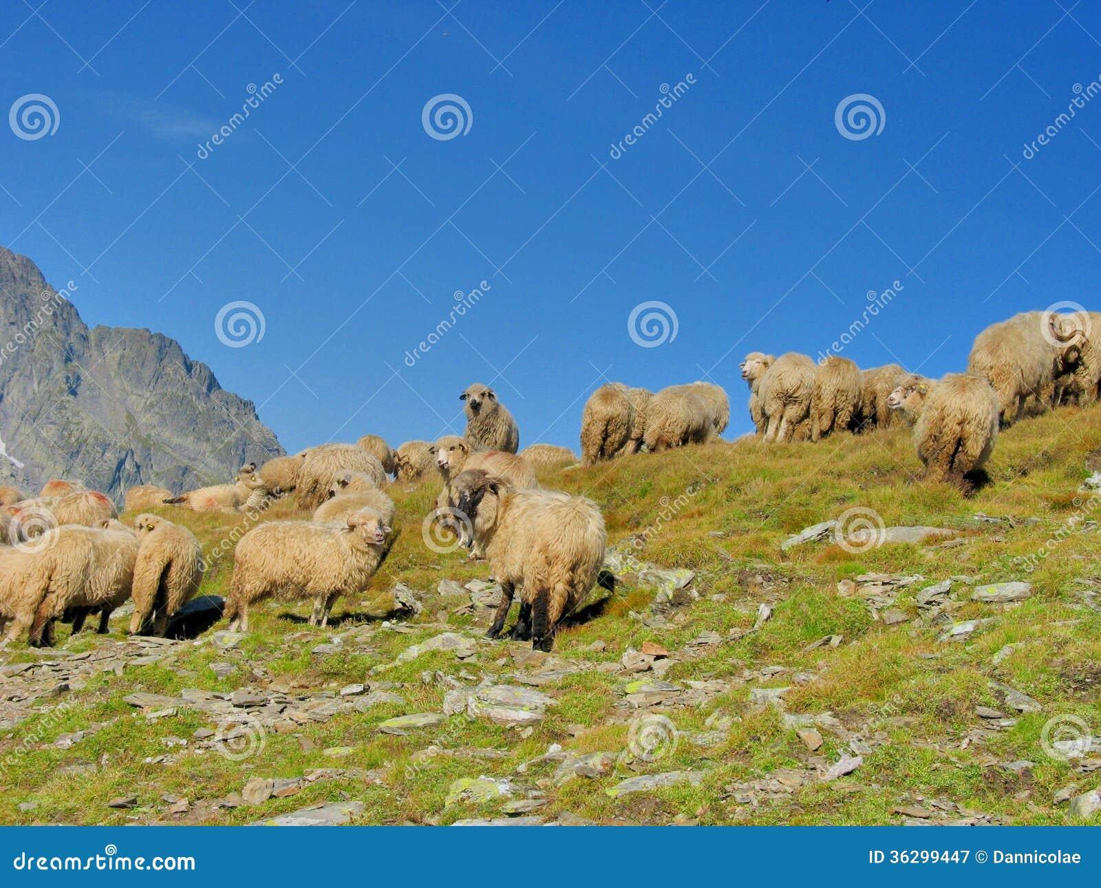Tabunowi cakle w wierzchołku góry
