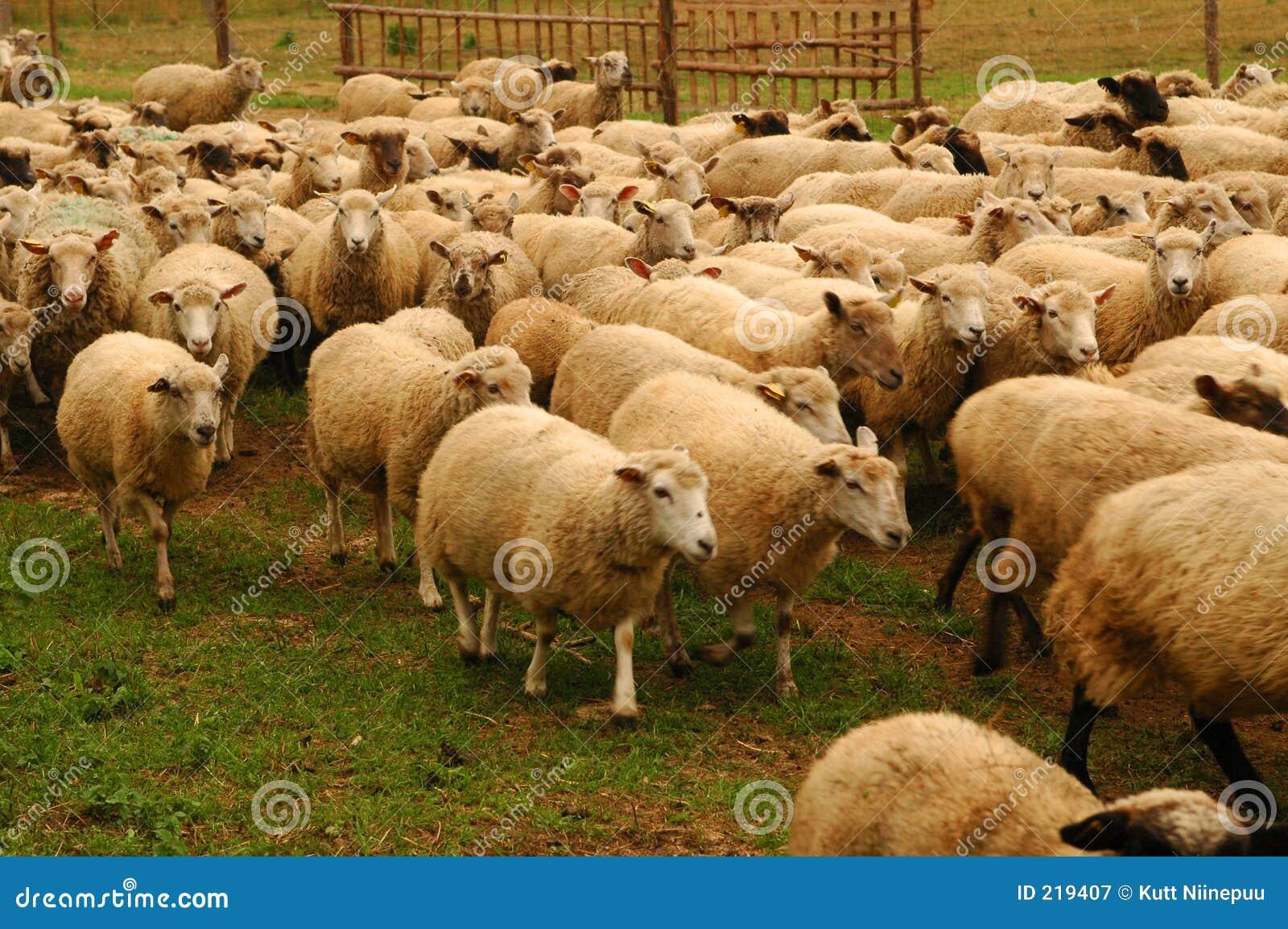 Tabunowi owce