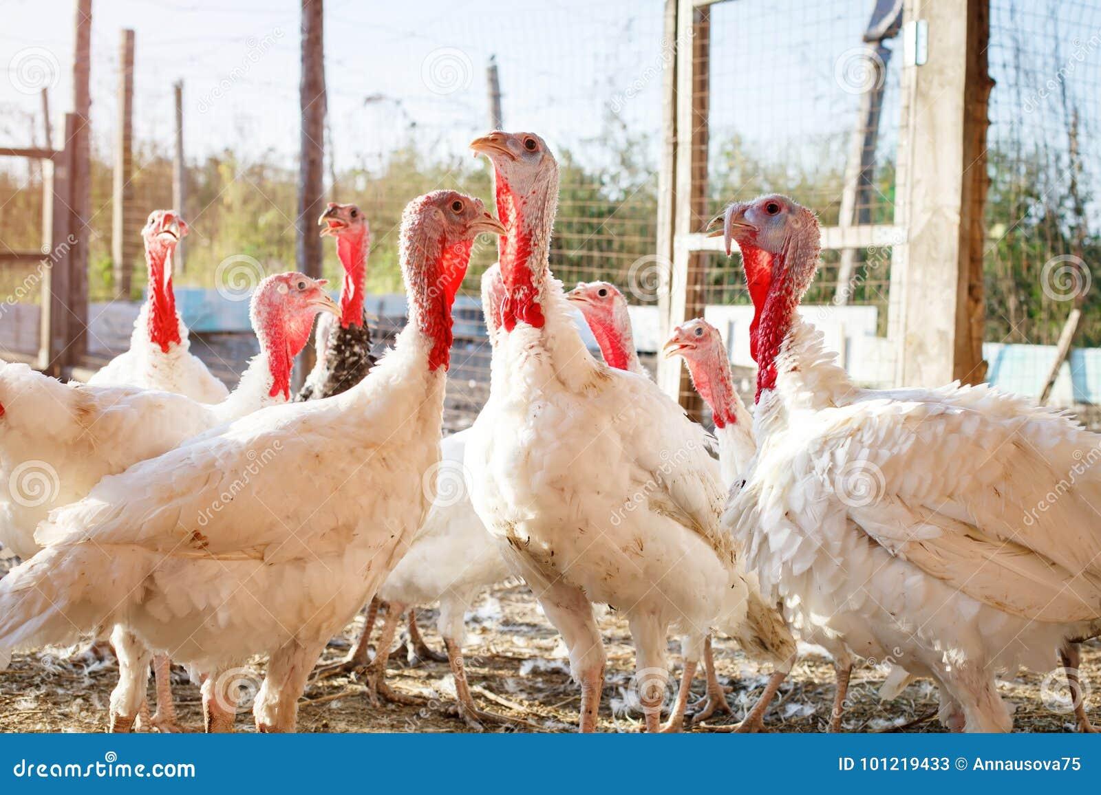 Tacchini su un azienda avicola tradizionale