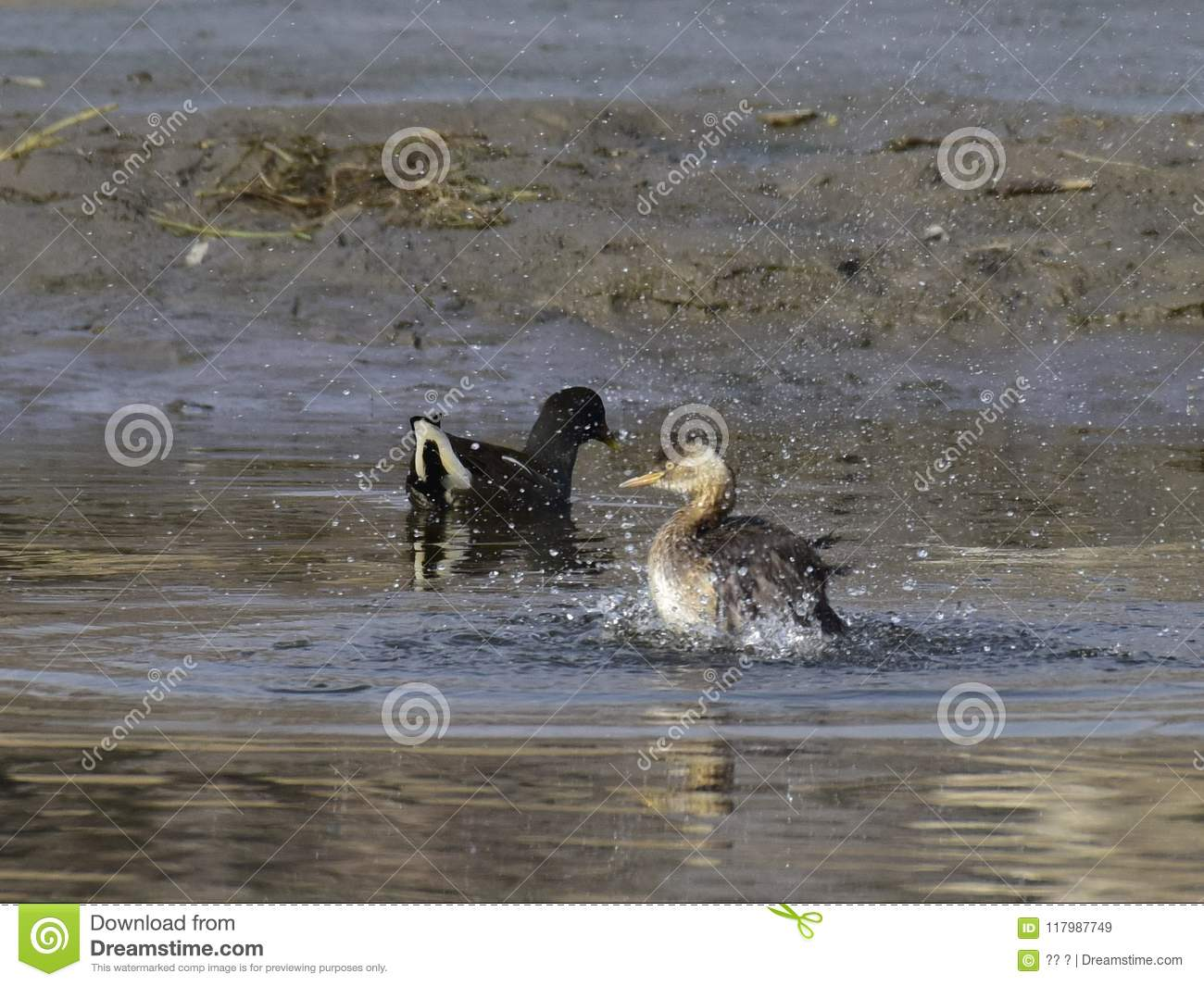 Tachybaptusruficollis In The Water Of The Lake Stock Image