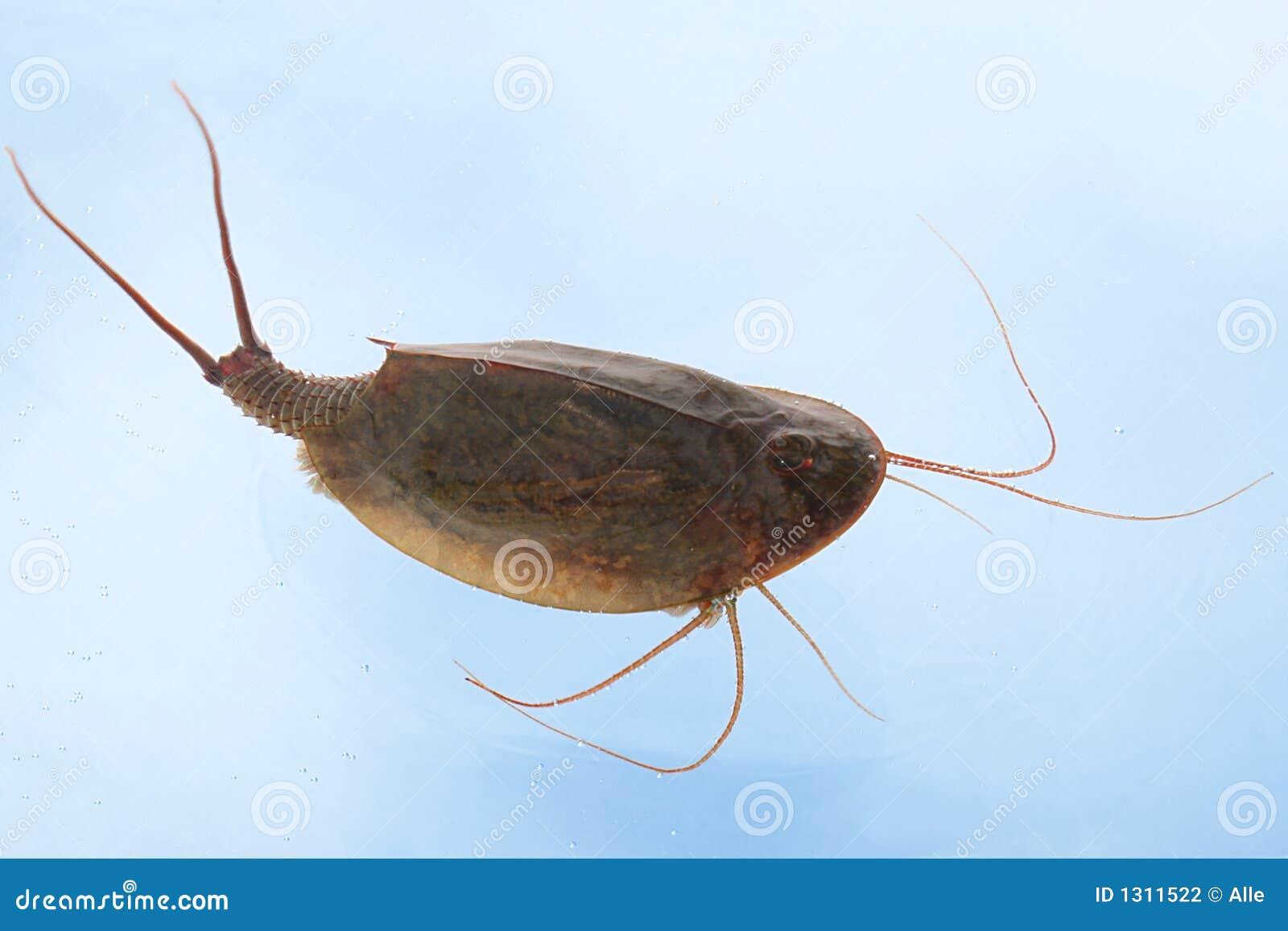Tadpole Shrimp Triops Cancriformis Stock Photography