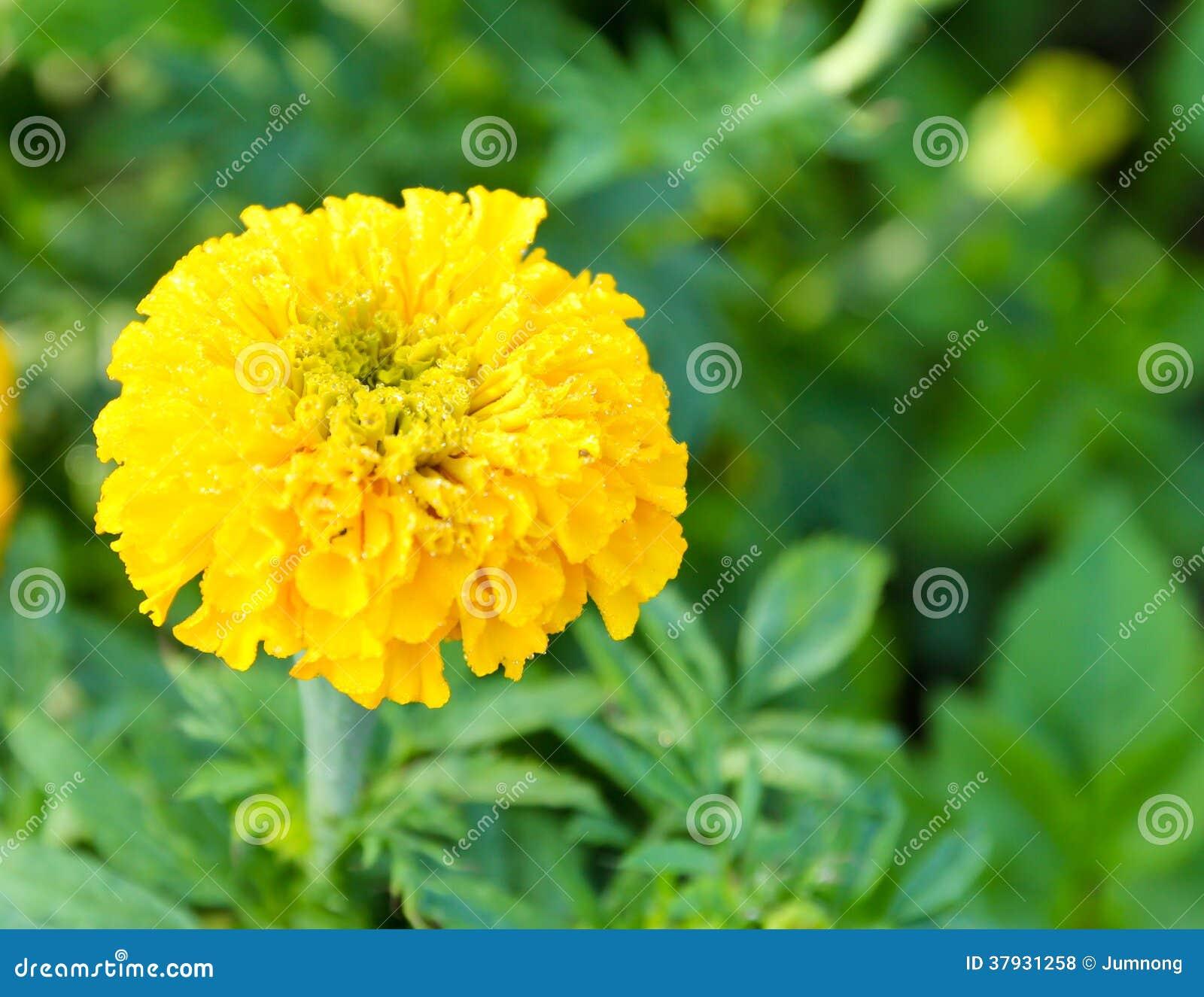 Tagete nell azienda agricola del fiore