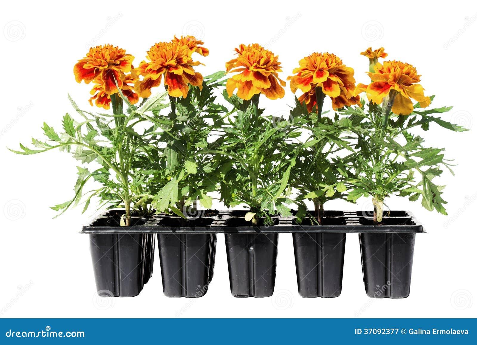 Download Tagetes Kwiatu Rozsady Na Białym Tle Obraz Stock - Obraz złożonej z botanika, czerwień: 37092377