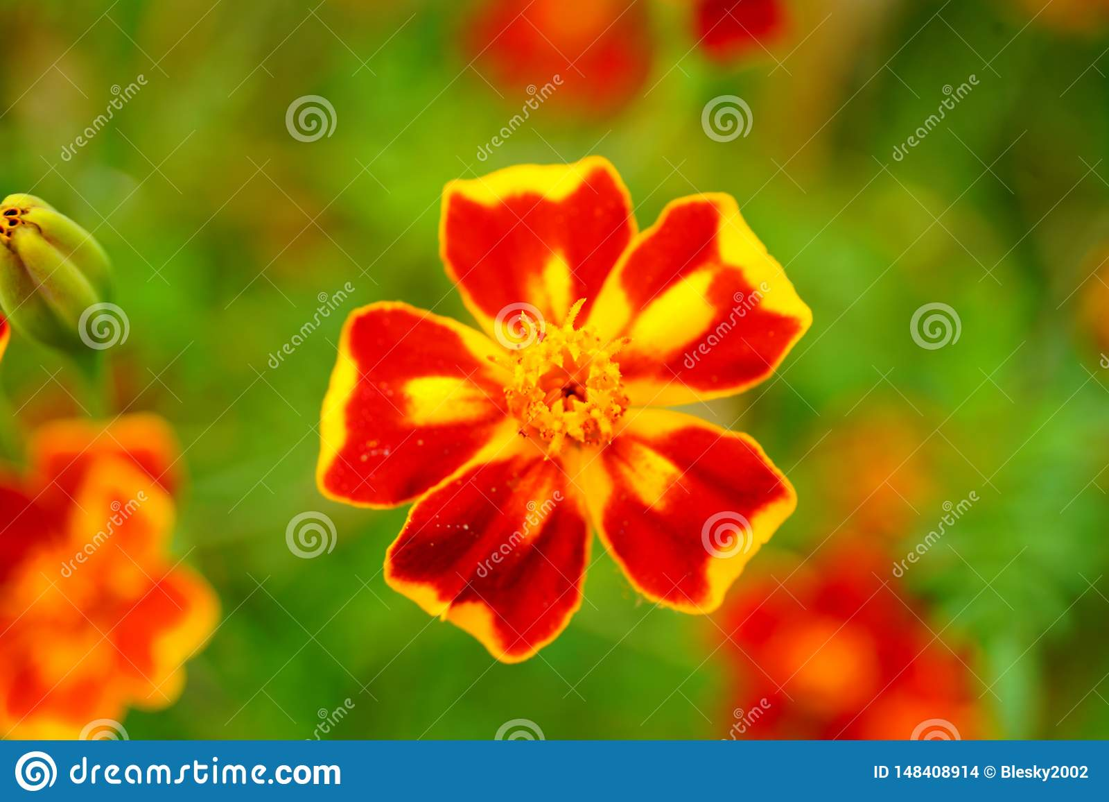 Tagetes, Marigold in blossom
