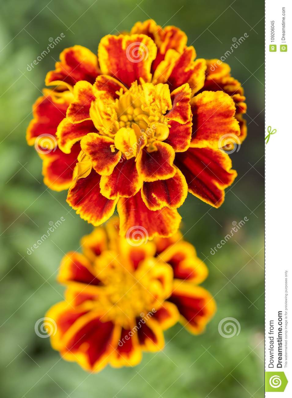 Green Orange Small Apartment Living Room Decor: Tagetes Patula French Marigold In Bloom, Orange Yellow