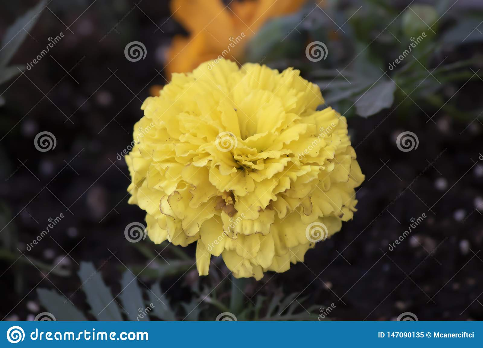 Tagetes patula or Mister macestic flowers