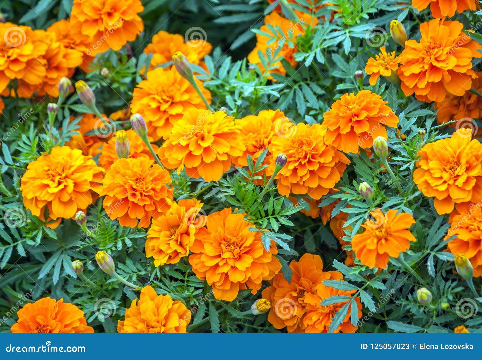 Tagetes A Variety Of Flowers Bonanza Deep Orange Symbol Of