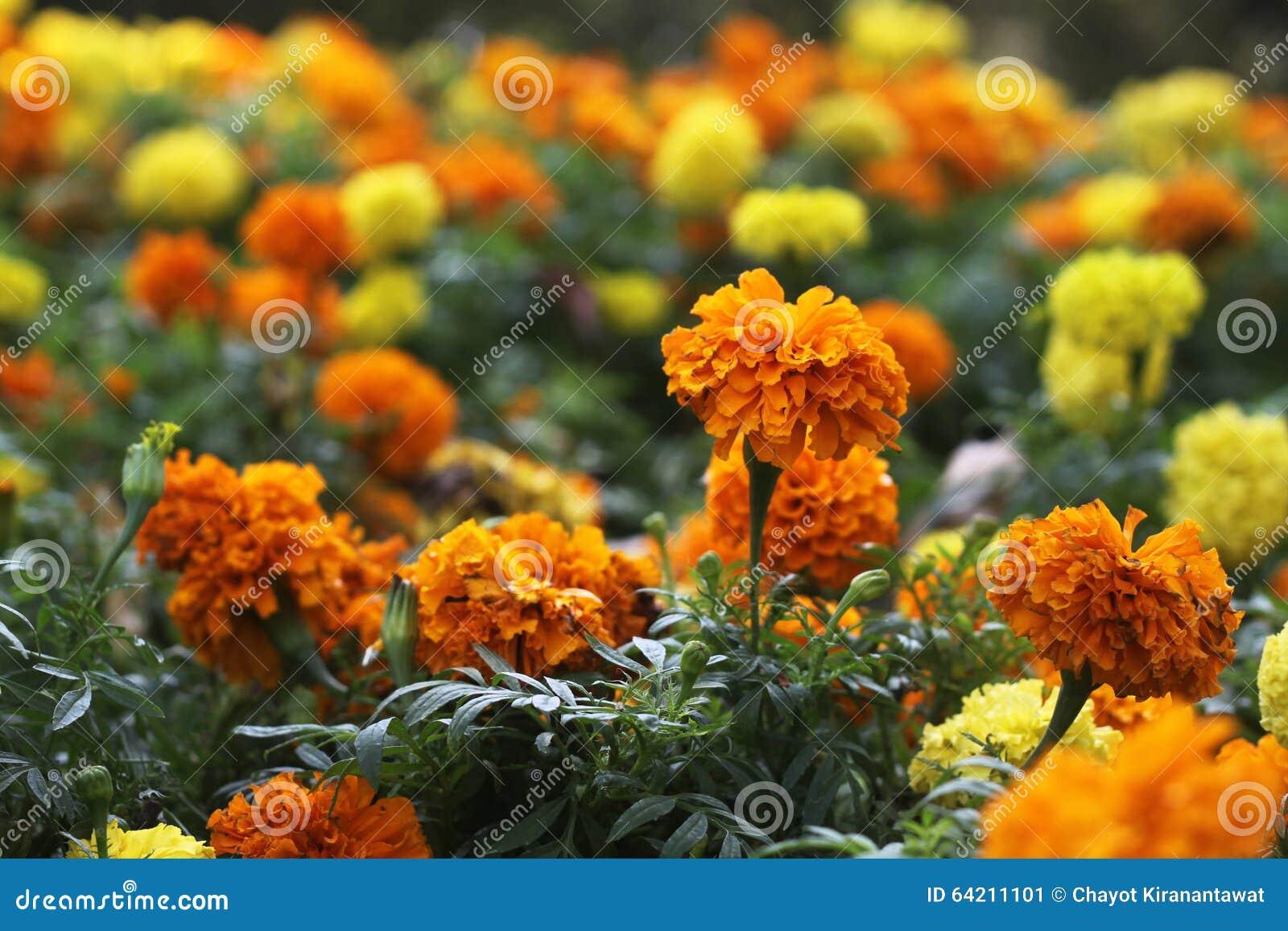 Tageti gialli ed arancio