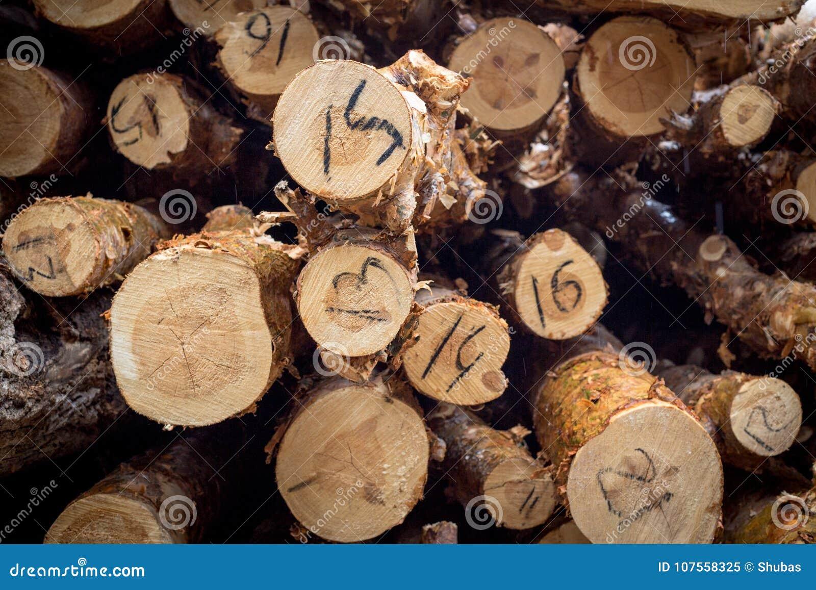 Tagli il pino annotare Anelli annuali sul pino del taglio