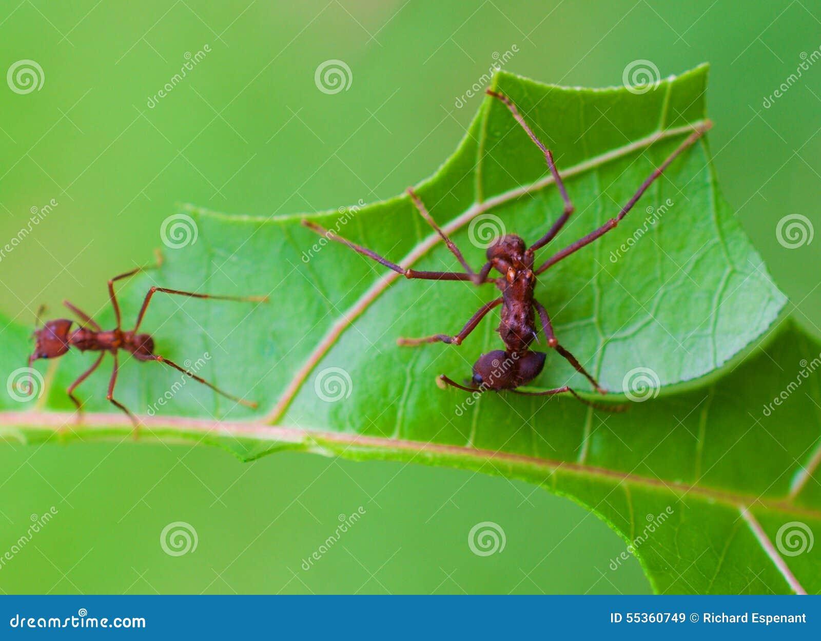 Taglio della formica della taglierina della foglia