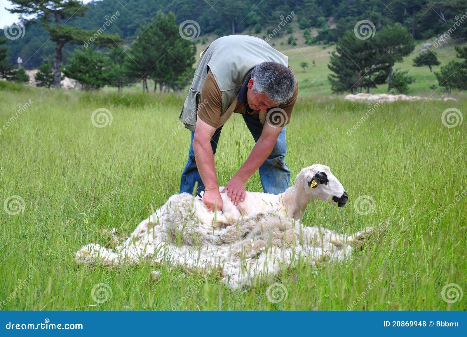 Taglio della pelliccia della pecora