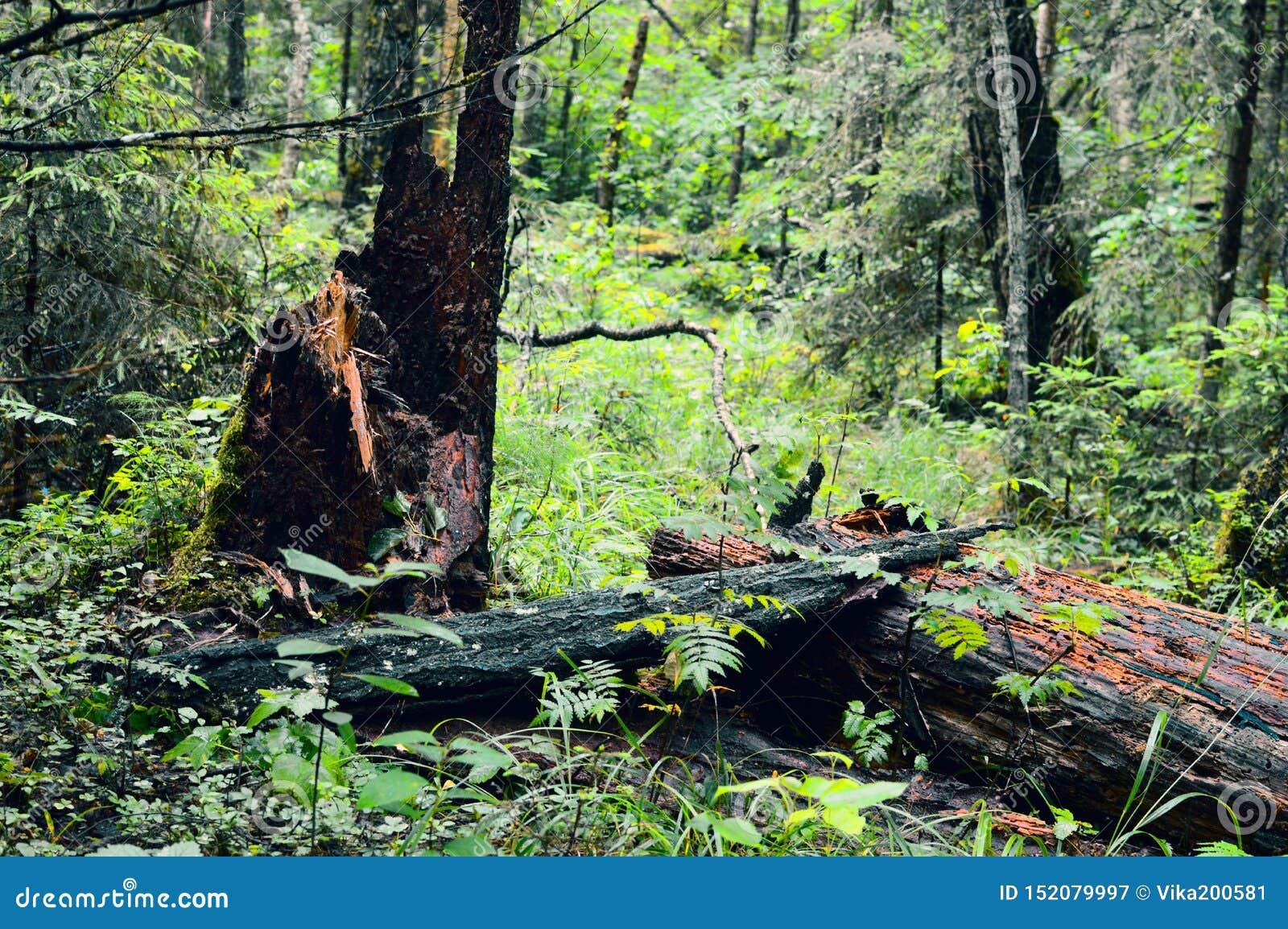 Taiga sibérien de forêt infranchissable ordinaire russe